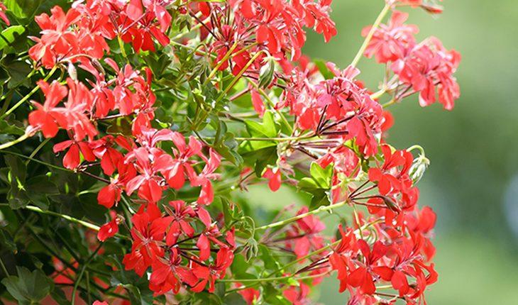 Blühende Balkonpflanzen